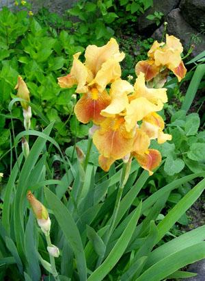 Садовые цветы растения многолетники